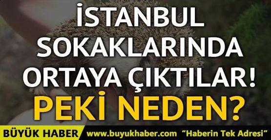 İstanbul'da sokaklarında görünmeye başlayan kirpilerin sırrı ne?