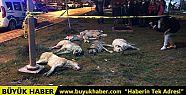 Ankara'da sokak köpekleri zehirlenerek...